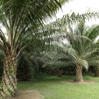 Oil palm has closest resemblance to forest than other major oil crops