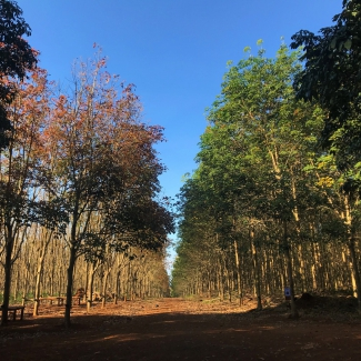 Season colors in Socfin Cambodia's rubber plantation