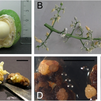 Somatic Embryogenesis as Key Technology for Shaping the Rubber Tree of the Future