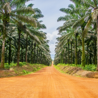 Palm oil field